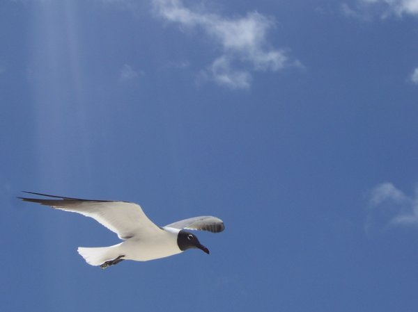 SEAGULLS: White seagulls flying on a Caribbeans beach