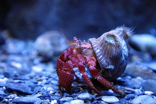 Hermit crab: no description