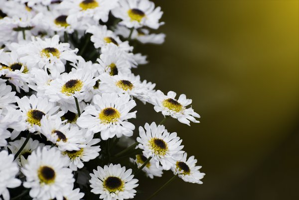 Daisies: Daisy background