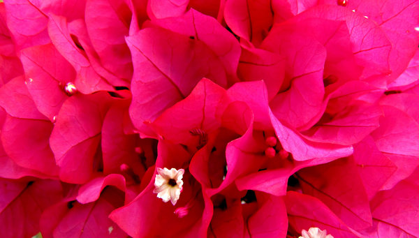 pink & white: cluster of pink and white bougainvillea flowers