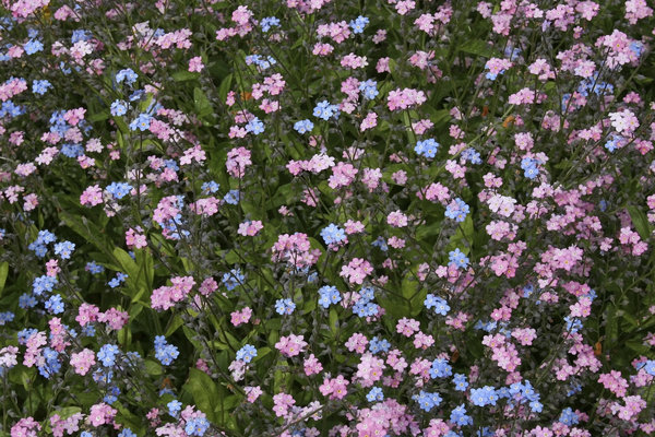 Flower carpet: A bed of forget-me-not (Myosotis) flowers in a garden in England.