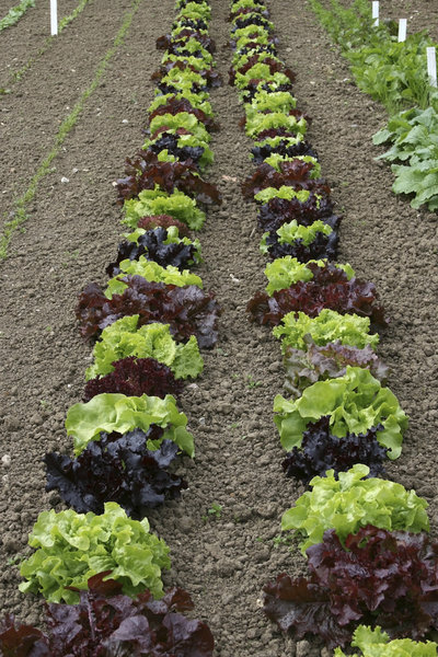 Lettuces: Young lettuce plants under cultivation in a kitchen garden in Somerset, England.