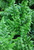 Green fern texture