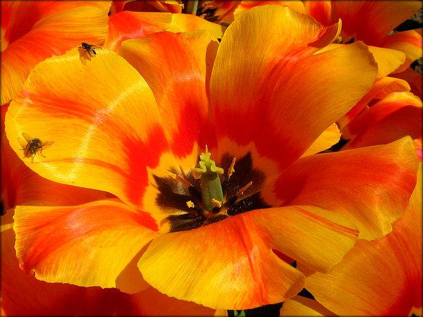 Free stock photos rgbstock free stock images orange flower orange flower with two flies mightylinksfo