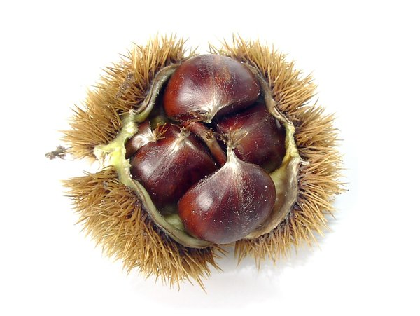 (Sweet) Autumn Fruits: Sweet Chestnuts from near Kronberg im Taunus