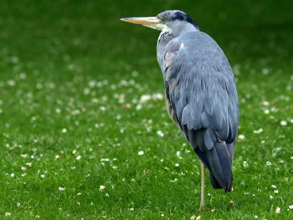 Heron: A heron standing on grass blurred in nice bokeh