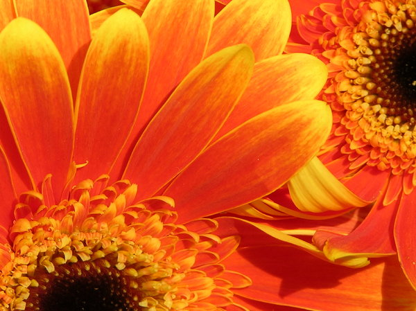 Gerbera 1: summer flowers :)