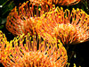 golden pincushion splendour