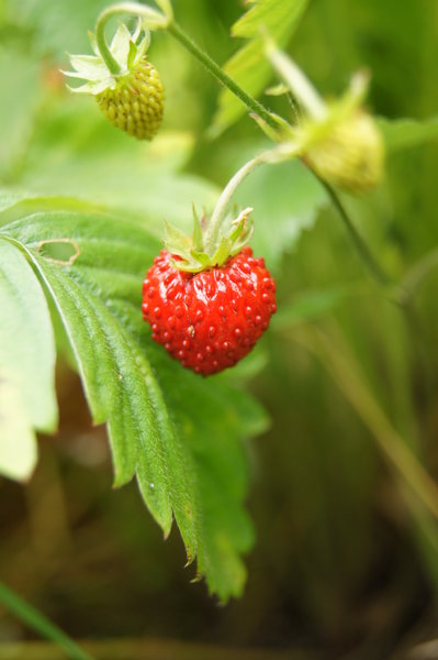 Wild strawberry: no description