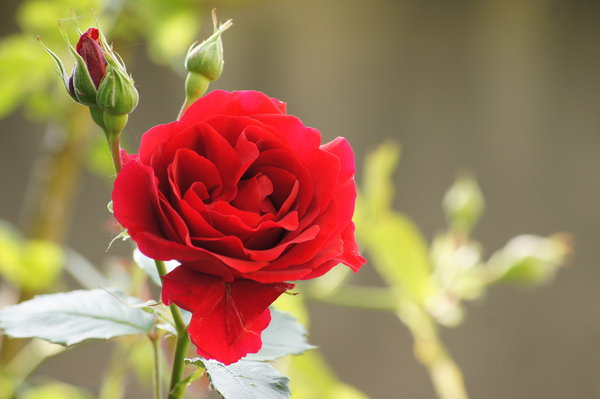 red rose: Taken last weekend in the garden