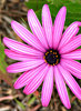 pink daisy