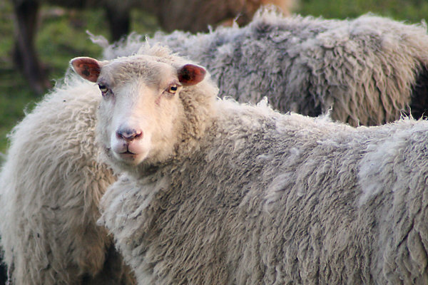 Yorkshire Dales sheep: Yorkshire Dales sheep with full winter coat