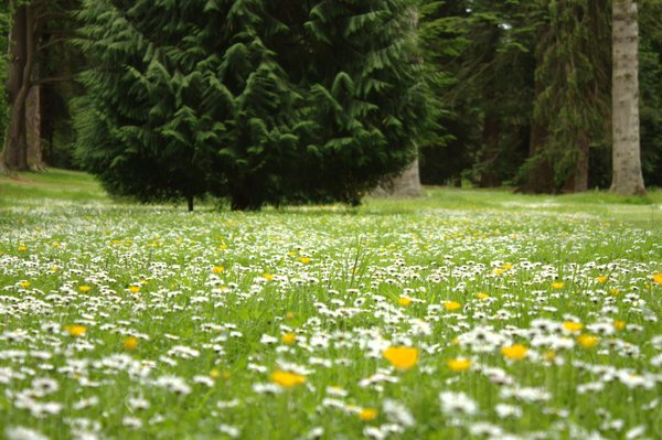 Carpet of daisies: Woodland carpetted with daisies