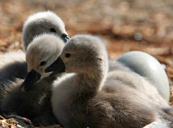 Cygnets: Baby Swans at Abbotsbury, Dorset, UK