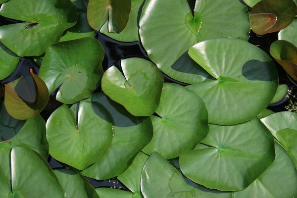 Lily pads: Lily pads in a pond in Italy.