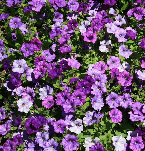 Purple petunias: Petunia flowers in a garden in England in summer.