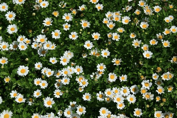 Daisy background: A carpet of daisy (Anthemis?) flowers in a garden in England.