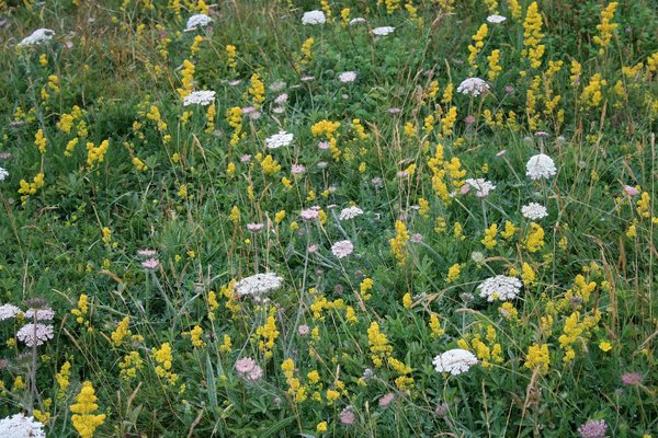 Chalk downland flora: Wild flowers of chalk downland - mainly lady's bedstraw (Galium verum) and an umbellifer - in East Sussex, England.