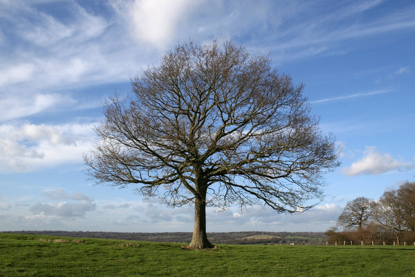 Tree in winter 1: An isolated tree on the High Weald of West Sussex, England, in winter.