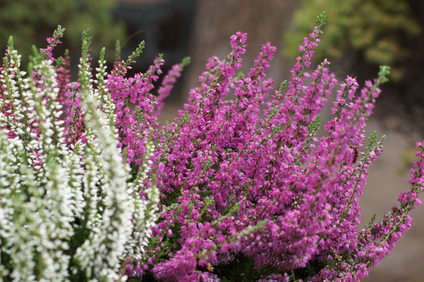 heather: Autumn symbol - heather (Erica sp.)