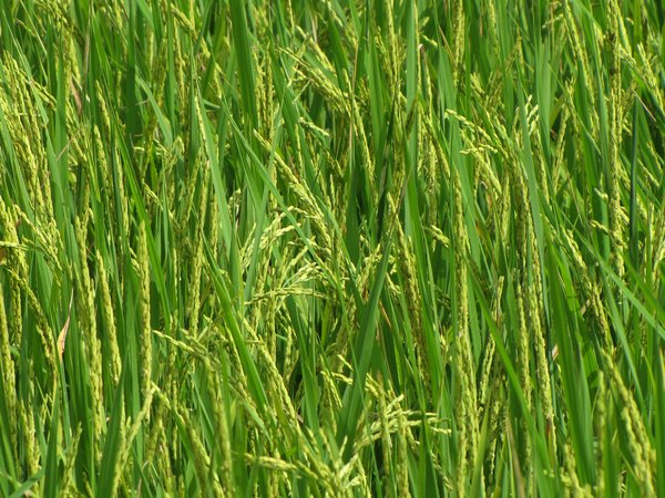 Paddy Crop: no description