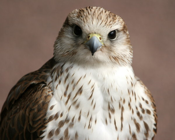 Saker Falcon: Close-up of a Saker Falcon