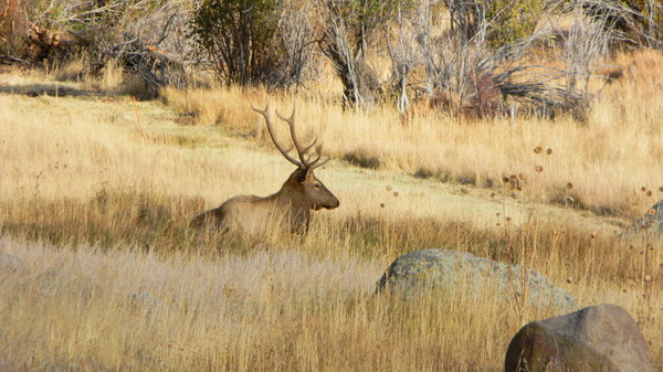 Elk: Some pictures of the elk in Rocky Mountain National Park. They were bugling too which is an awesome experience!