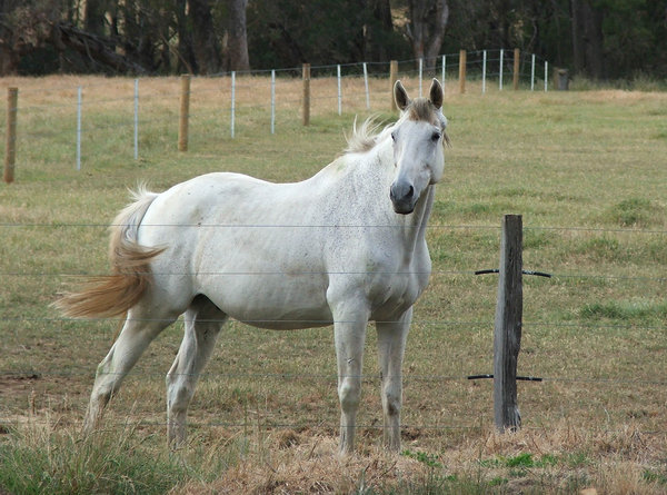 fenced in: white horse in fenced off paddock