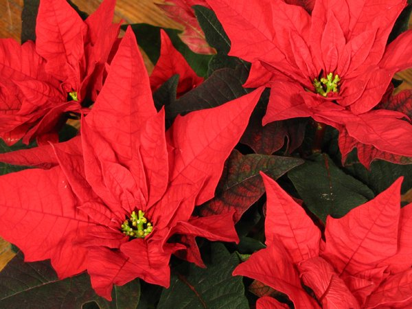 Poinsettia: poinsettia potted in a large pot for christmas.