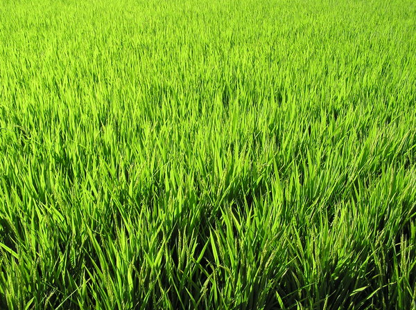 Rice Growing: Rice growing in Japan. Summertime.