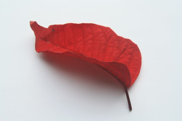 Red leaf: An isolated red leaf