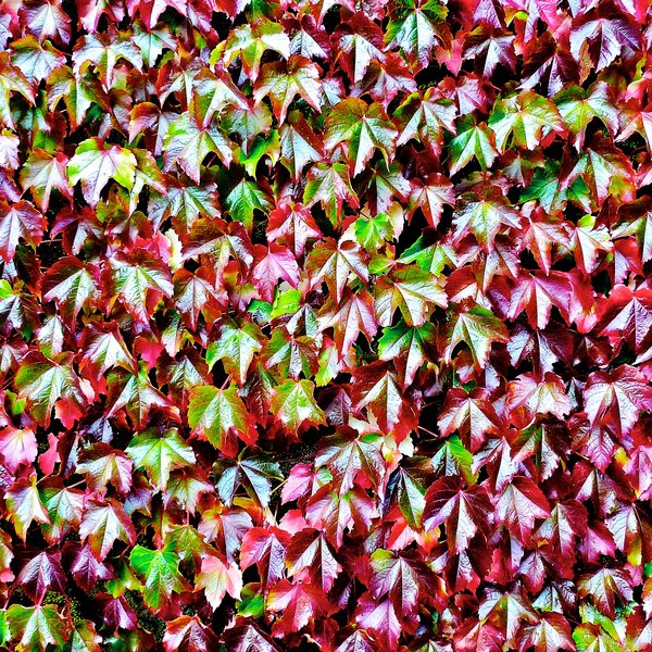 Ivy leaf abstract 2: Images of ivy leaves on a castle near Aberdeen in north eastern Scotland