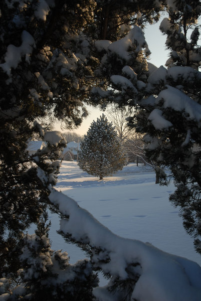 Snow: A snow covered tree.