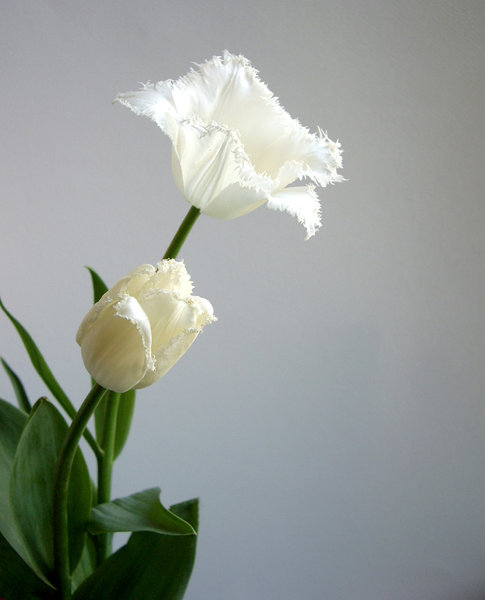 white tulip 2: white tulip on white background