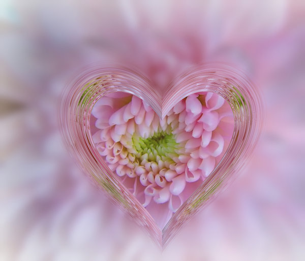 Heart of Glass: A glass heart frame effect on a pink chrysanthemum. Suitable for a texture, background, backdrop or fill, a birthday card or wrapping, anniversary, wedding, or valentine. You may prefer:  http://www.rgbstock.com/photo/nsCSL04/Heart+of+Glass+2