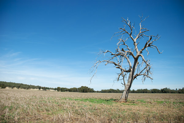 rural: a dead gum tree in a paddock
