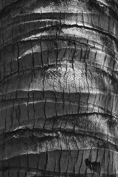 Coconut bark B/W: B/W image of the bark of a coconut tree.