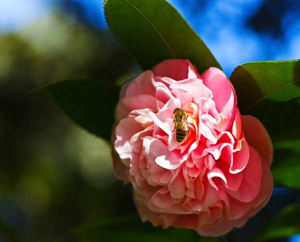 Honeybee on Pink: Bee partaking of the offerings of this Camellia. Taken Eden State Park, Fl.