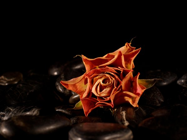 Withered rose on black pebbles: A withered rose on black pebbles