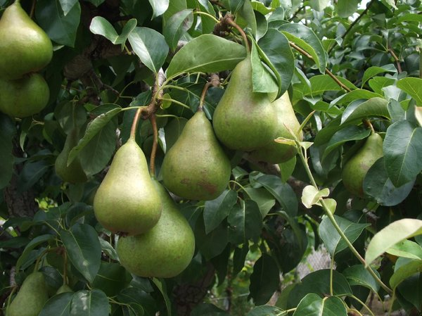 Pears: no description
