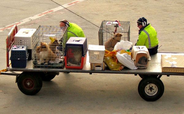 caged ready for travel: dogs, family pets waiting on tarmac before being loaded on airplane for travel