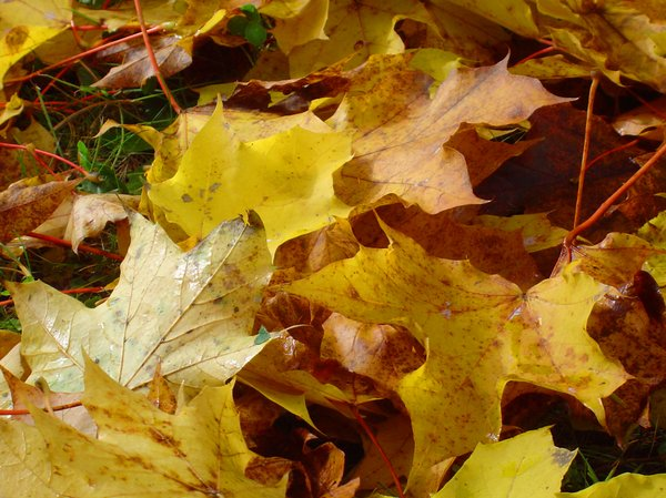 Autumn leaves 1: Yellow maple leaves covering the ground
