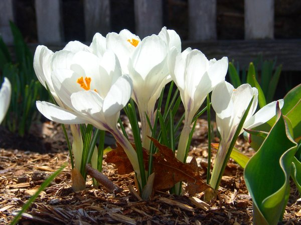 Free stock photos rgbstock free stock images white crocus white crocus mightylinksfo