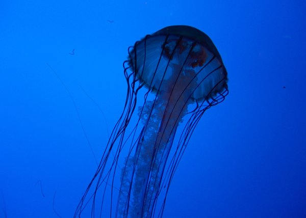 In The Deep Abyss: These Jelly Fish from the deep abyss are located at the New England Aquarium in Boston, MA
