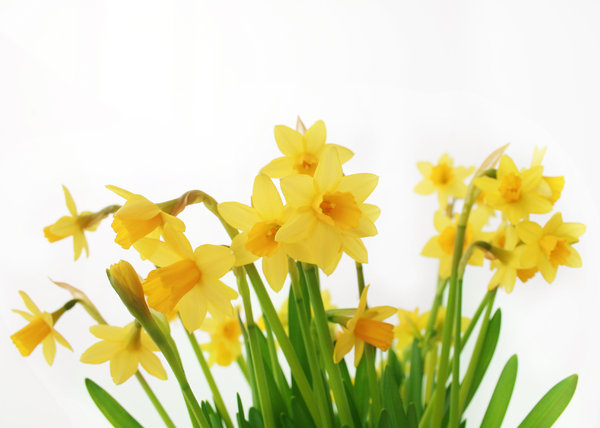 eastern daffodils 1: I love those flowers.