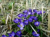 deep blue crocuses in a field