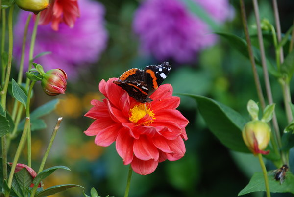 autumn flowers and butterflies: autumn flowers and butterflies
