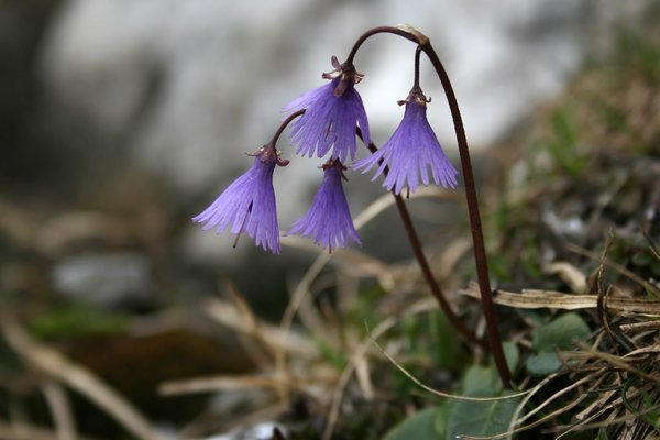 Snowbells: Snowbells (Soldanella) growing high up in the Dolomites, Italy.