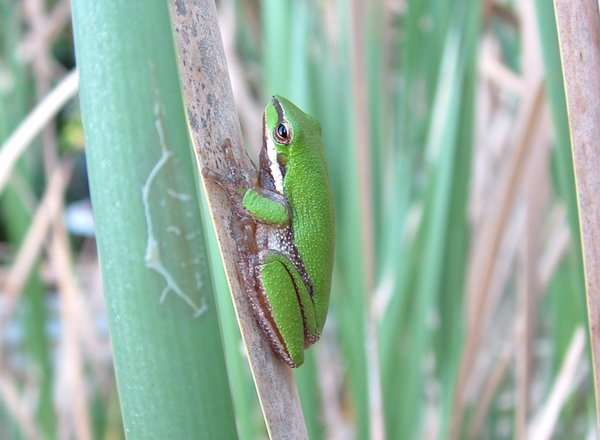 Frog: Green FrogThere are no restrictions for this photo. Would love to know/see what it is used for :).