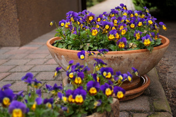 miniature pansies: flower of Viola tricolor - miniature cultivar